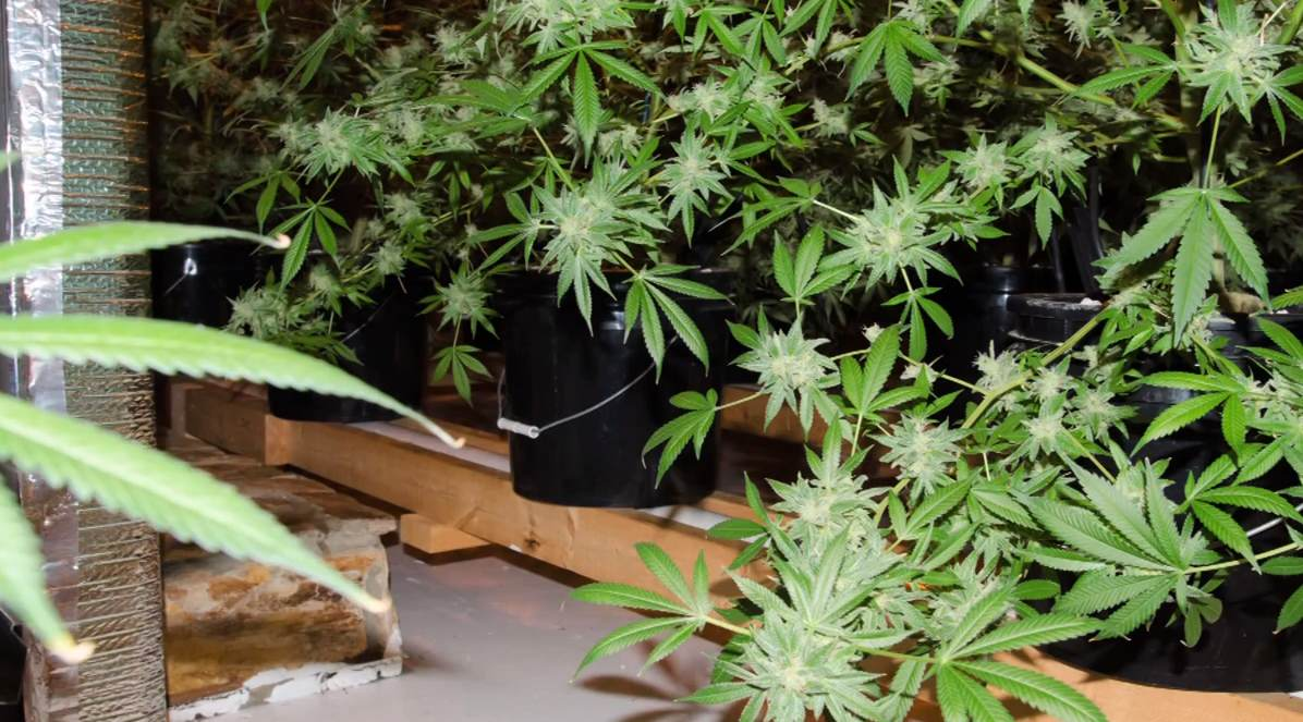 Picture of Marijuana Plants Grown Inside House